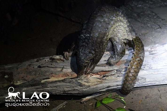 Pangolin Bust Laos 8 2015 11 06