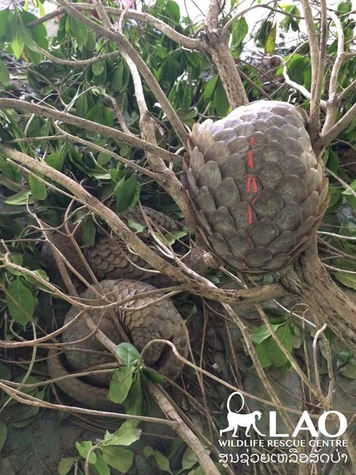 Pangolin Bust Laos 10 2015 11 06