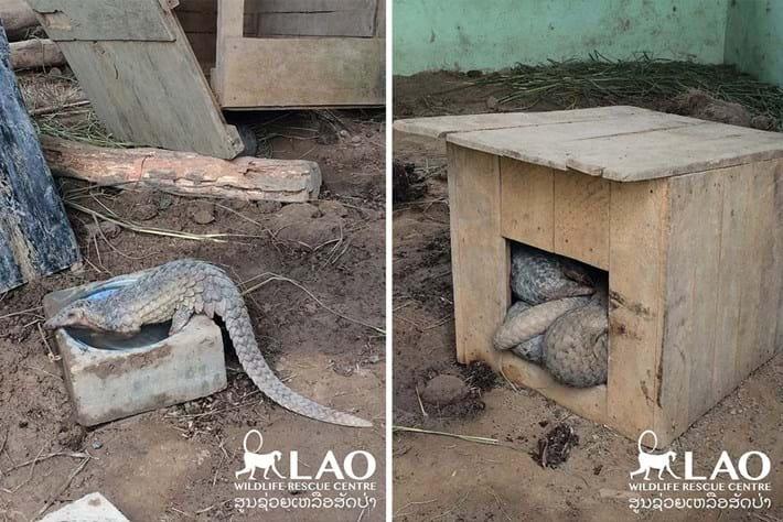 Pangolin Bust Laos 11 2015 11 06