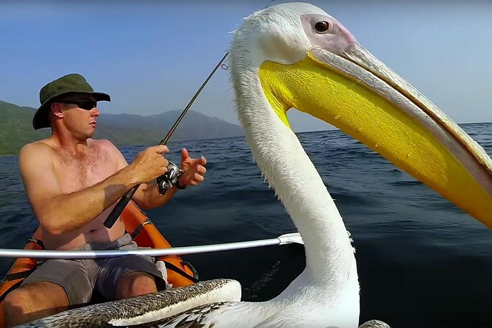 Pelican learns to fish 2015-11-09