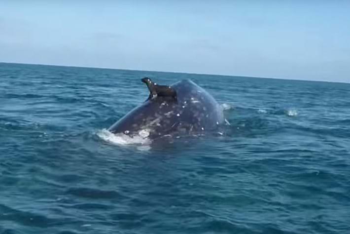 Sea lion rides whale 2015_11_10
