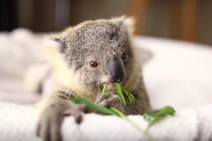 koala baby cute_2015_11_10