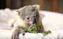 Behind all this koala cuteness, there's an amazing survival story