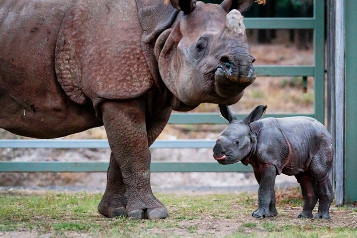 Zoo welcomes first-ever one-horned rhino born on Australian soil