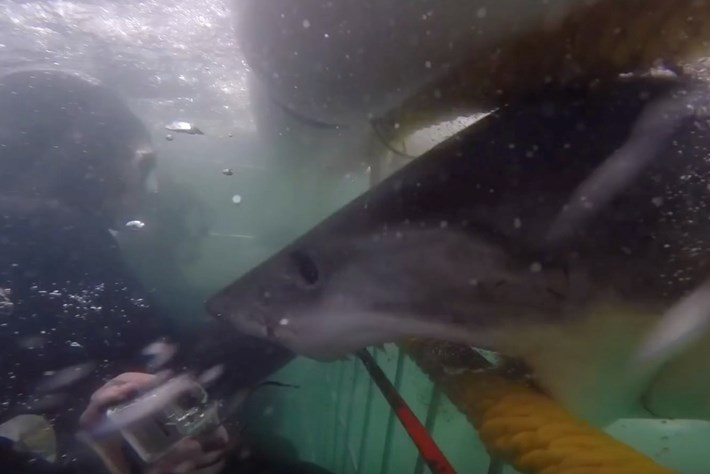 Why did a great white shark REALLY charge these cage divers?