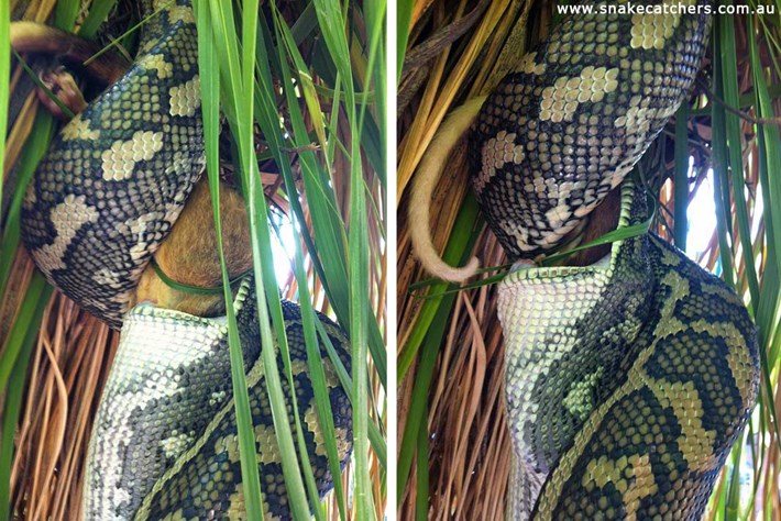 Carpet Python Eats Possum 4 2015 11 12