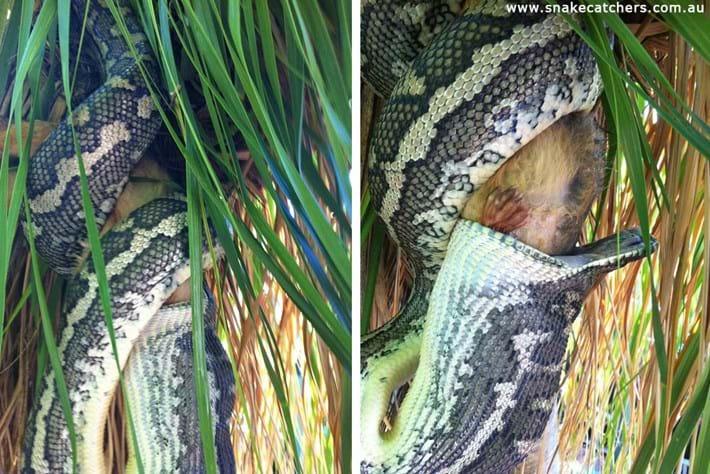 Carpet Python Eats Possum 3 2015 11 12