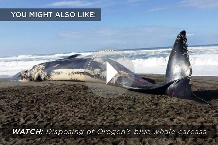 Related _Content _Whale -Carcass