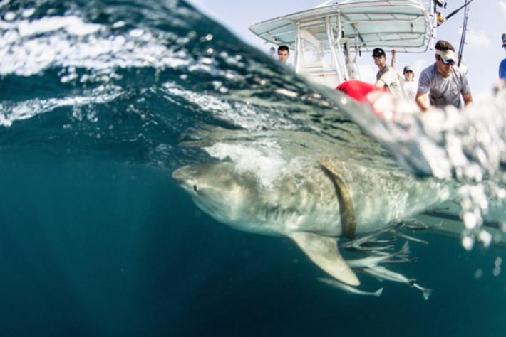 Ocearch_shark_tagging_2105_11_13