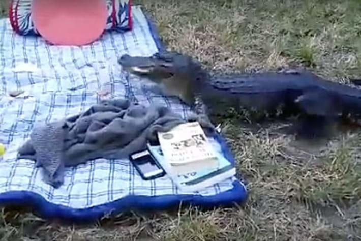 Alligator -picnic _2015_11_18