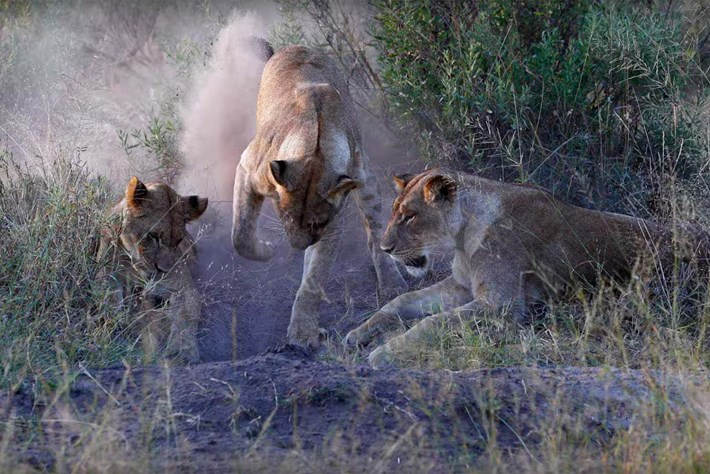 Lions kill warthog 2015-11-18