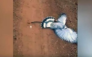 Hawk swoops in on snake, plan quickly backfires