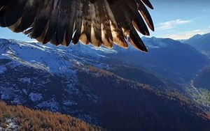 Eagles take on a drone, eagles win (VIDEO)