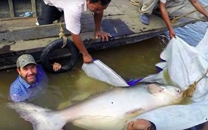 That moment when you leap in the water to tag a rare 7-foot catfish (VIDEO)