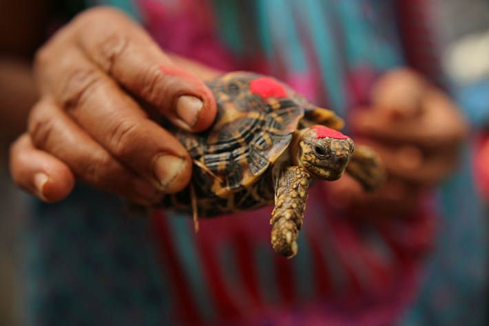 Indian Star Tortoise 4 2015 11 26