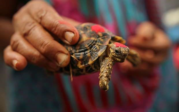 Tortoise's starry shell makes it a target for 'shocking' illegal trade