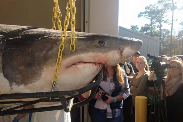 Shark Necropsy 1 2015 12 09