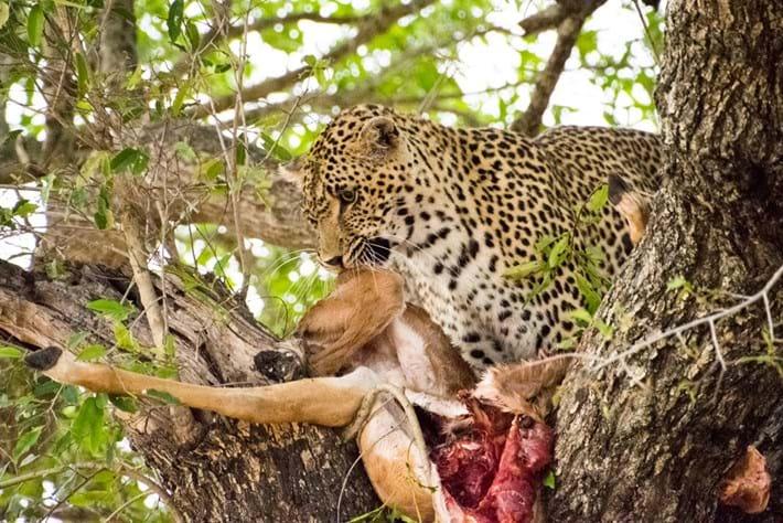 Leopard Kill 2015 12 10