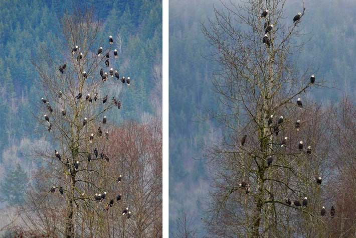 Bald Eagles In Tree Combined 2015 12 10