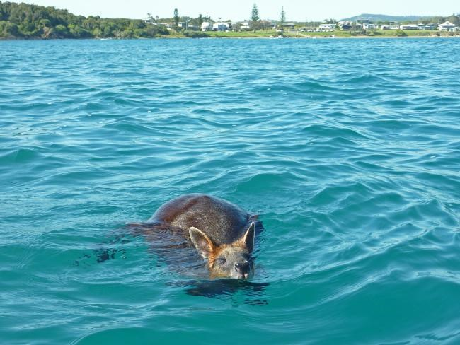 Wallaby Stranded 2015 12 14