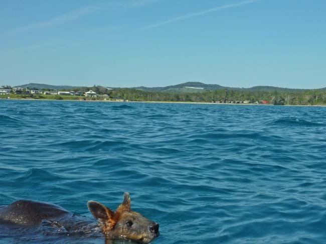 Wallaby Swimming 2015 12 14