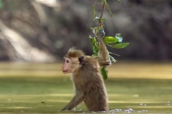 Macaque in water 2015-12-14