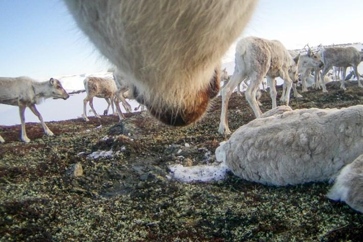 reindeer-2-2015-12-22