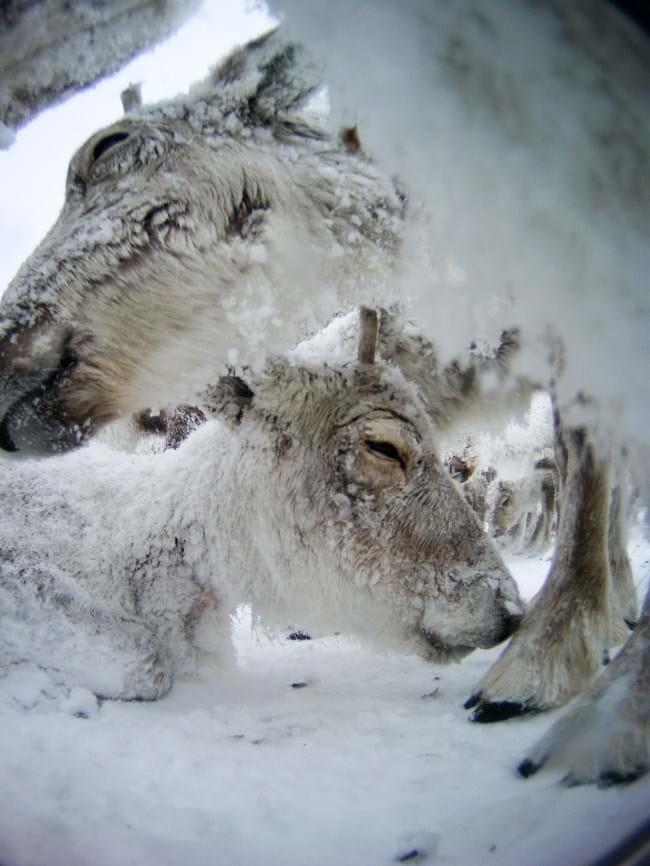 reindeer-10-2015-12-22