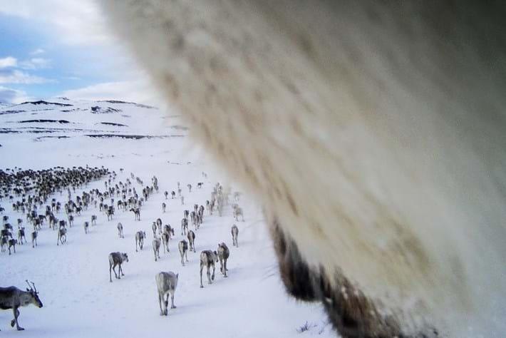 reindeer-13-2015-12-22