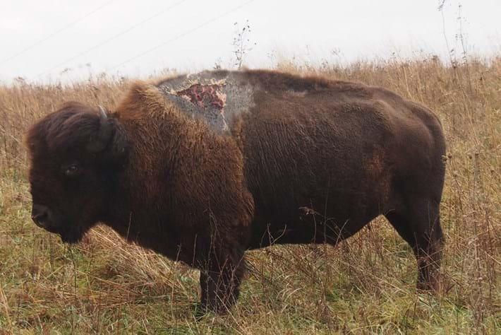 Sparky -bison _2016_01_07
