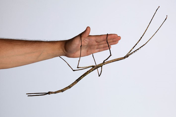 World first: Australia is breeding stick insects ... and they're huge!