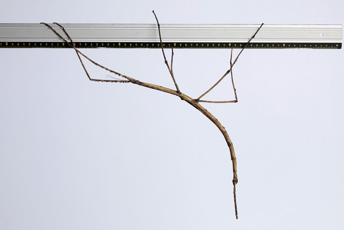 Giant Stick Insect Ruler 2016 01 07
