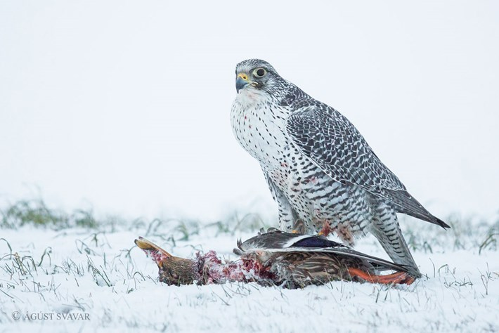 Gyrfalcon Eating Mallard Duck 1 2016 01 08
