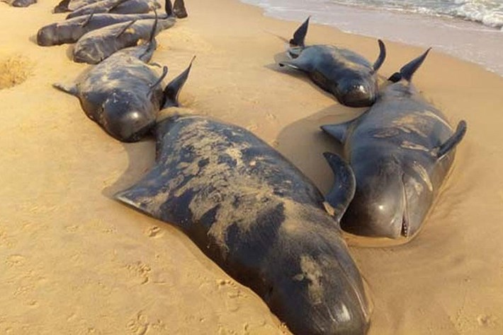 Beached pilot whales India 2015-01-12