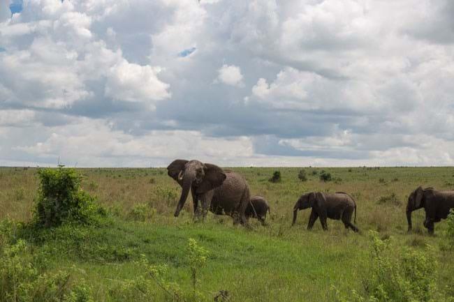 Elephant Flips Buffalo 1 2015 01 19