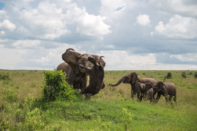 Elephant Flips Buffalo 3 2015 01 19