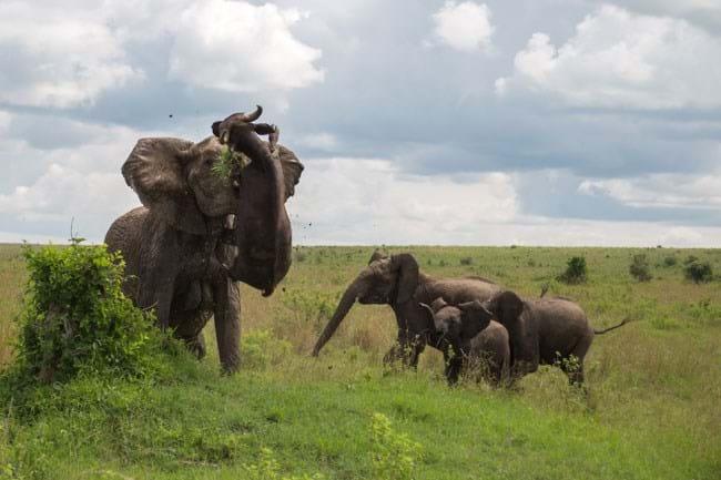 Elephant Flips Buffalo 4 2015 01 19