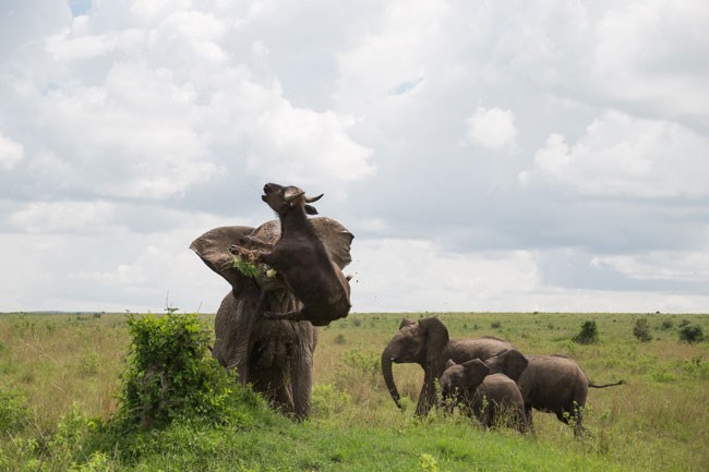 Elephant Flips Buffalo 5 2015 01 19