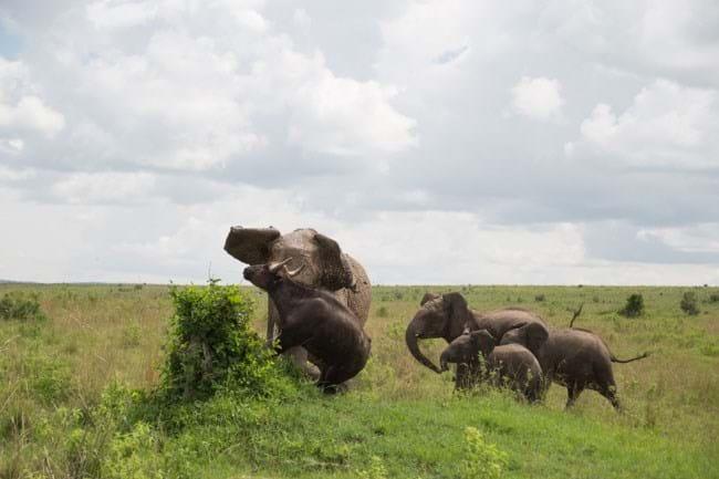 Elephant Flips Buffalo 6 2015 01 19