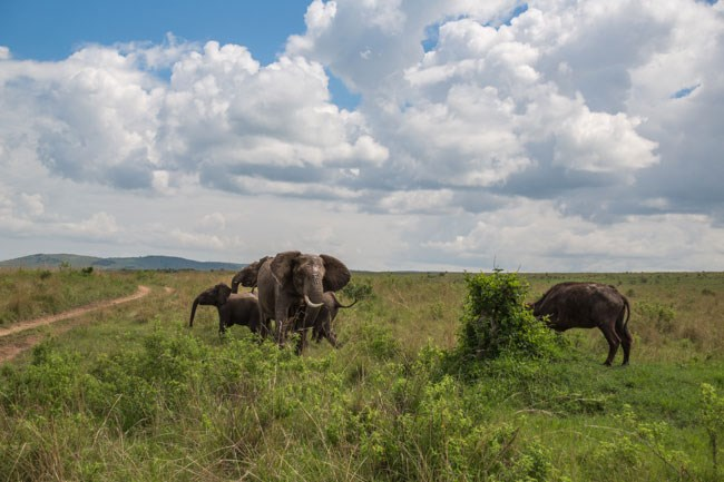 Elephant Flips Buffalo 7 2015 01 19