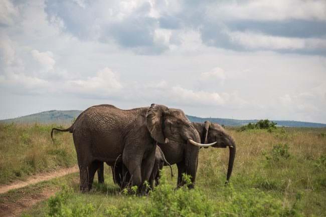 Elephant Flips Buffalo 8 2015 01 19