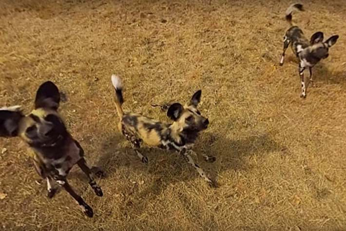Wild -dogs -page _2016_01_20
