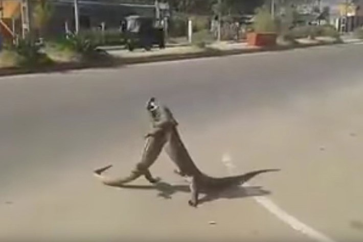 Lizards fight in street 2015-01-260