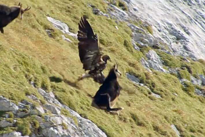 Eagle -chamois _2016_01_28