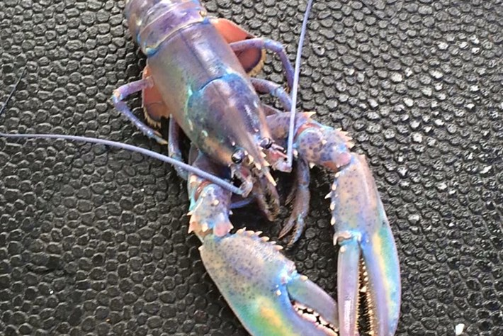 """Joseph, the Amazing Technicolor Lobster"" just showed up in Canada"