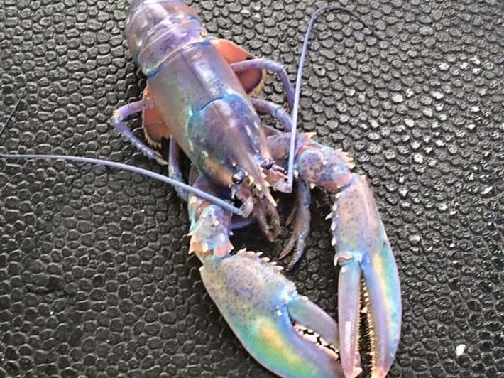 Rainbow Lobster 2016 01 01