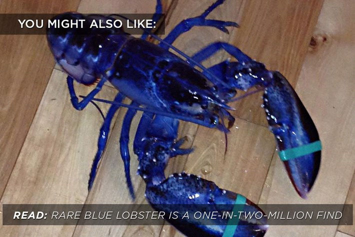 Blue Lobster Related 2015 02 01