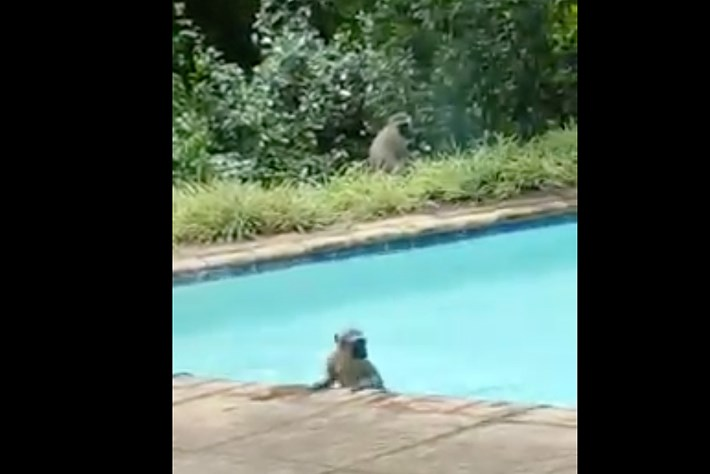 Monkeys swimming 2015-02-01