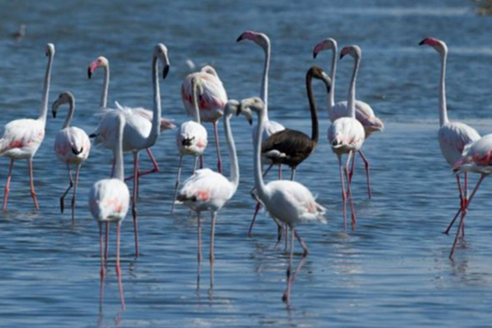 melanistic flamingo_2016_02_02