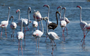 One-of-a-kind black flamingo returns to Cyprus lake (VIDEO)